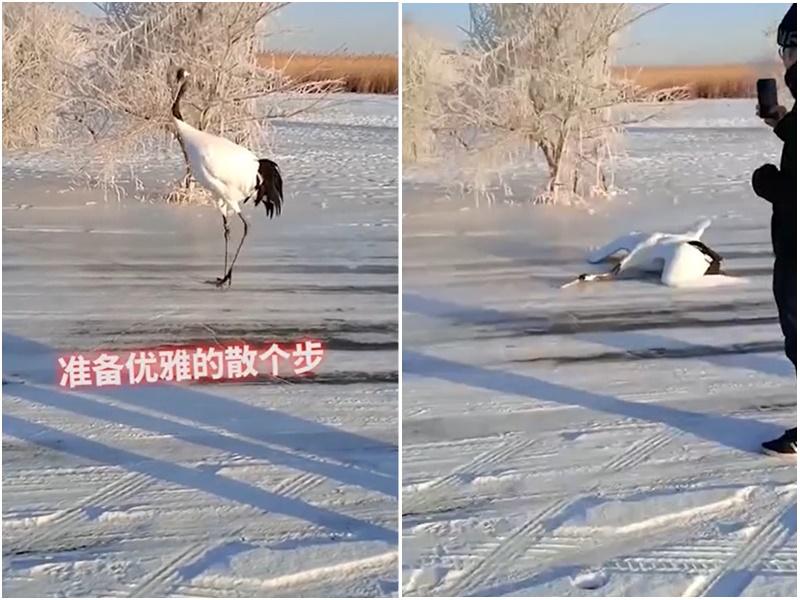 丹顶鹤冰面滑倒片段走红 网民争议:保护区变动物园