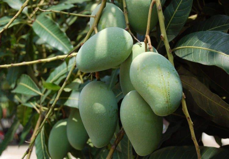 南方多到烂大街的水果,没成熟就能摘下来吃,北方一斤卖18元