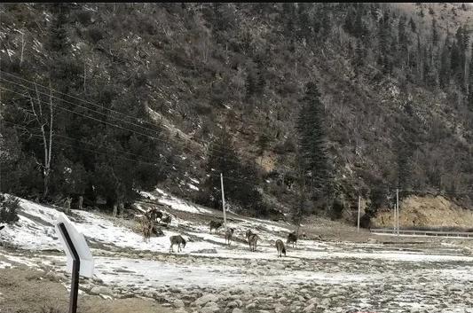 白唇鹿聚集雪地休憩喝水 村民:已连续几日了