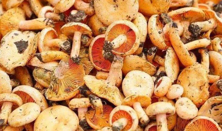 这种野生蘑菇一年长两次,美味又好摘,只要试过都说好