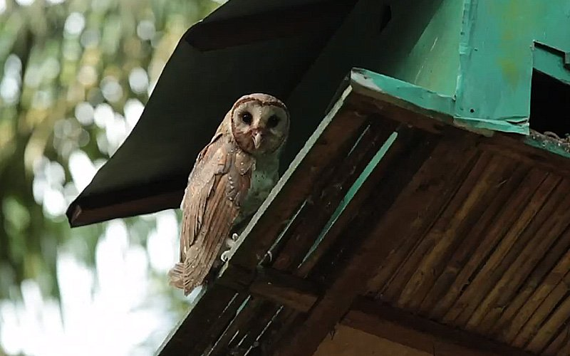 Owls better than snakes or monkeys at controlling rats in palm estates