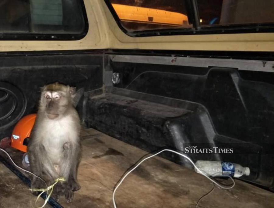 Wild monkey caught after frightening family