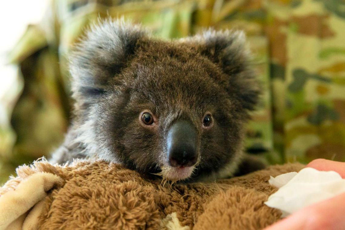 Thousands sign online plea for New Zealand to house fire-threatened koalas