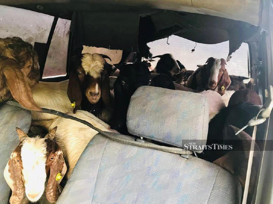 GOF halts smuggling of 12 Boer goats stuffed in Toyota Unser