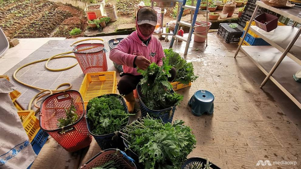 Gap in vegetable supply chain puts Cameron Highlands farmers in overdrive before CNY