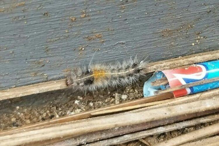 Residents of Greater Jakarta face caterpillar outbreak in rainy season