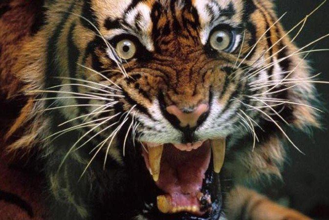 为什么老虎吃过人后必须杀掉?专家:那个味道忘不了