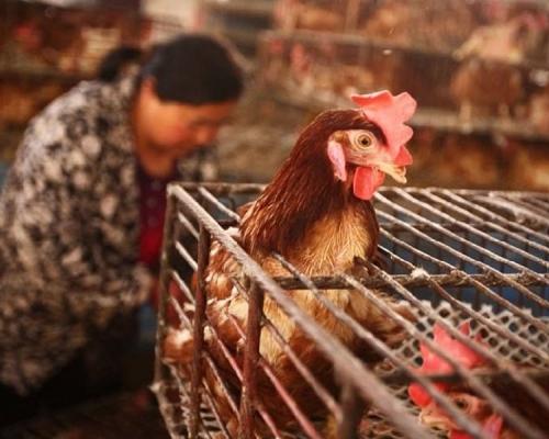 上海市年初一全市暂停活禽交易 为期至4月30日