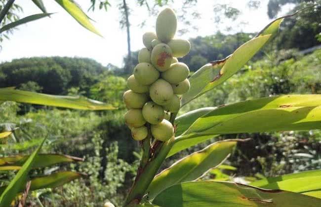 """农村一种植物酷似""""竹子"""",植株能散发出香味,果实极为珍贵"""