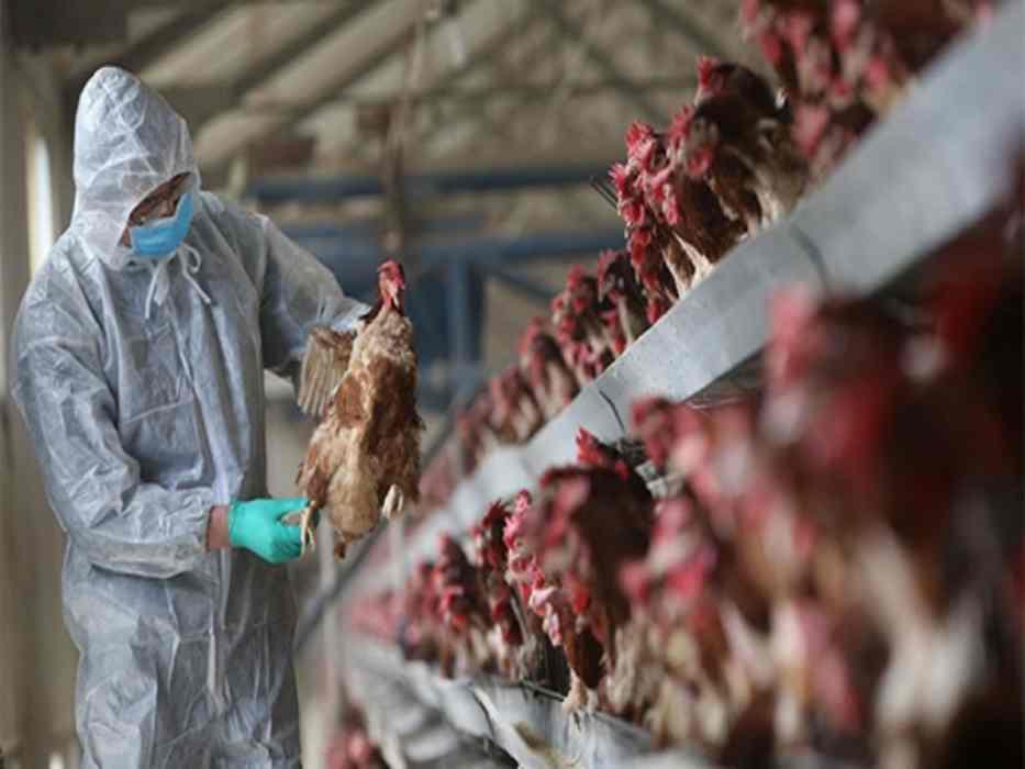 湖南爆发禽流感 扑杀17828只家禽