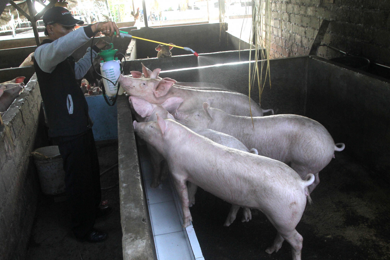 Hundreds of pigs in Bali killed by mystery disease