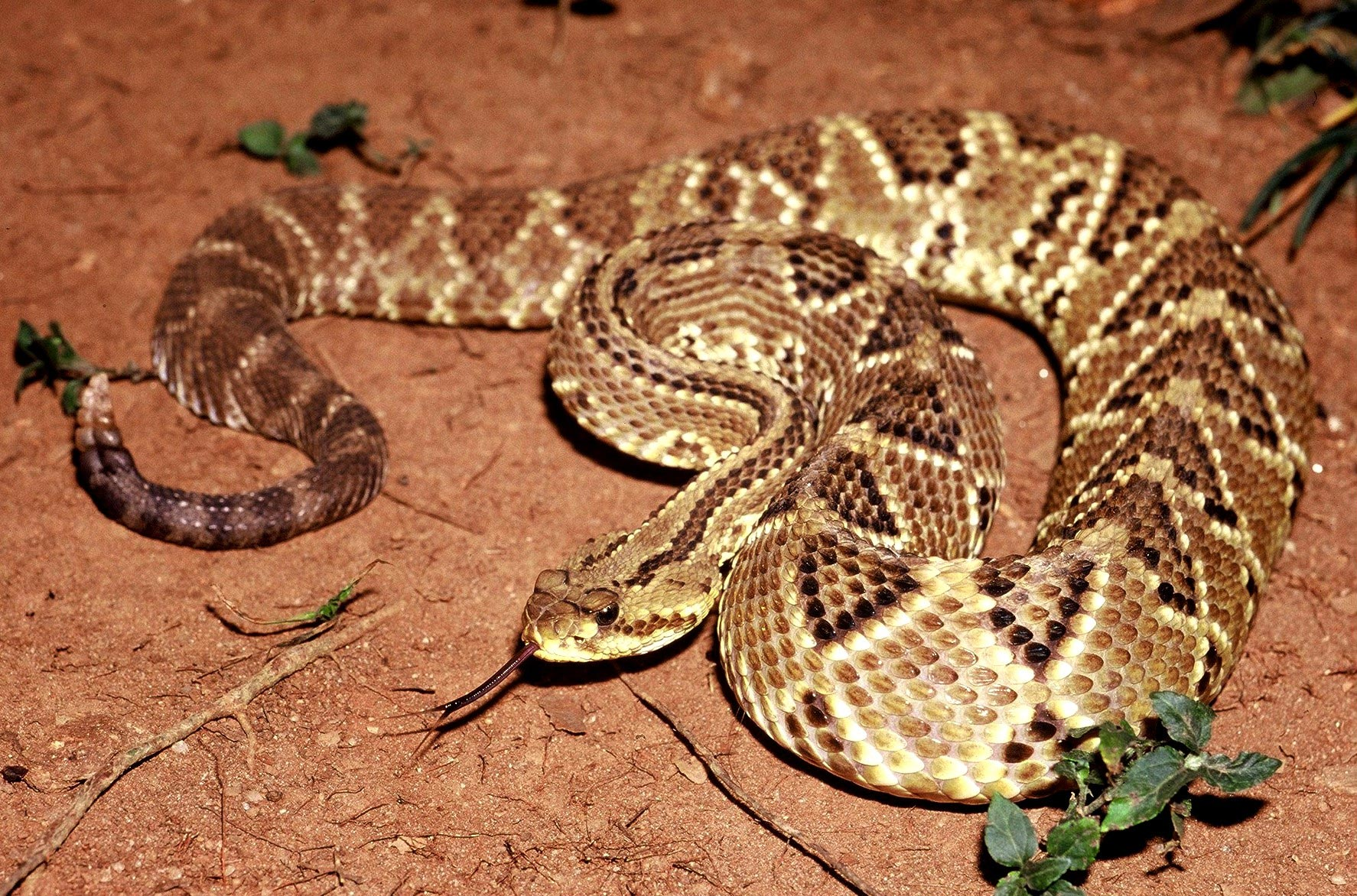 Toxin From Rattlesnake Venom Formulated to Treat Chronic Pain