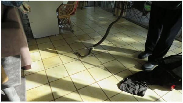 两米长巨蟒熘进卧室,吓坏昆州夫妇!付不起$250,祈祷蛇自行消失...(组图)