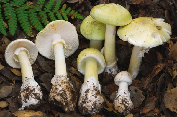 """当心这种菇!蘑菇界""""头号杀手""""正在澳洲生长,90%中毒死亡与它有关!(组图)"""