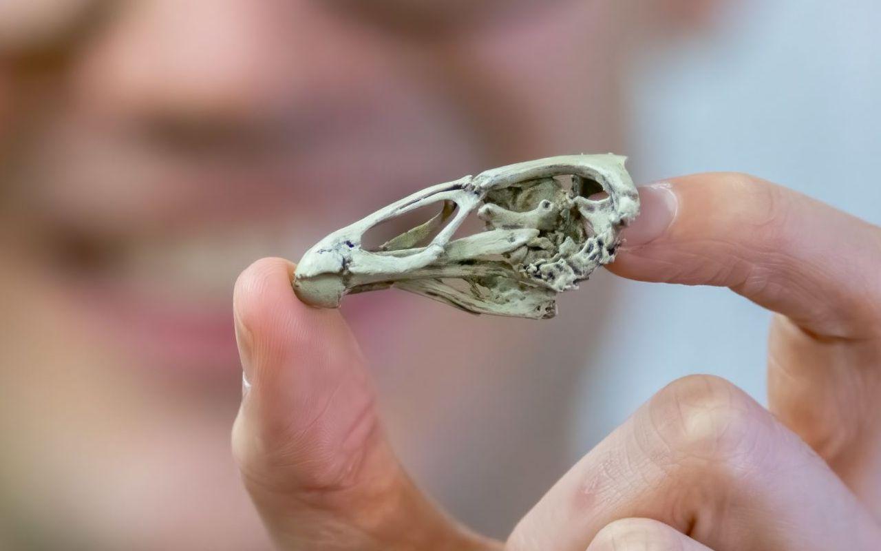 Meet Wonderchicken, a paleontology marvel. No, seriously