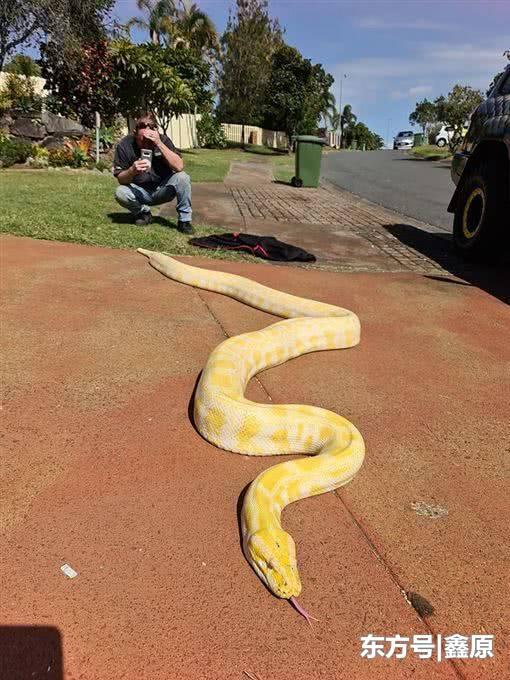 澳大利亚5米长黄金巨蟒闯民宅,捕蛇专家:从业27年从没见过!