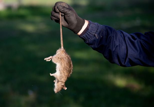 Giant rats 'could invade streets and homes' as COVID-19 stockpilers dump spoiled food