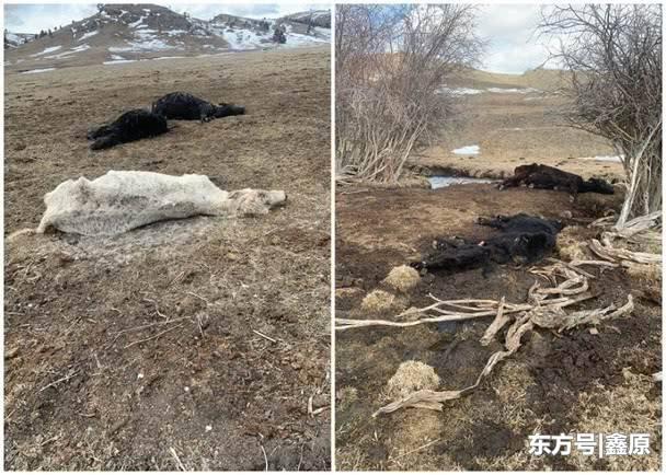 蒙大拿州数百头牛被弃野外致数十死,牧场老板被以虐待动物罪起诉