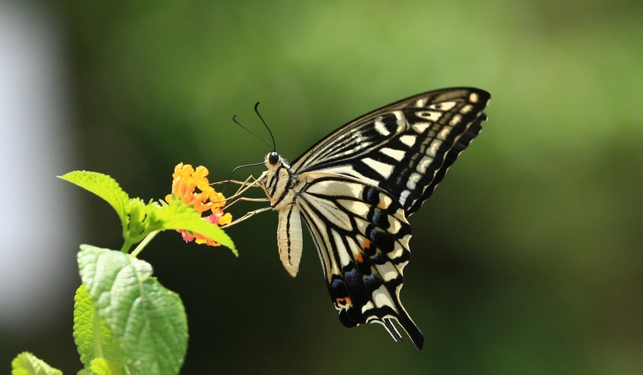 Explosion in Hong Kong butterfly population linked to hottest year ever