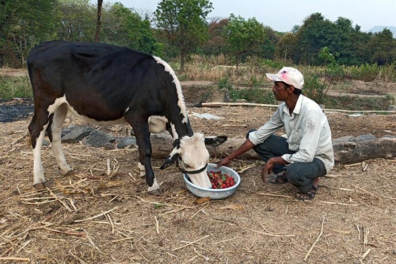 印度封锁遇丰收季 · 农民喂牛吃草莓