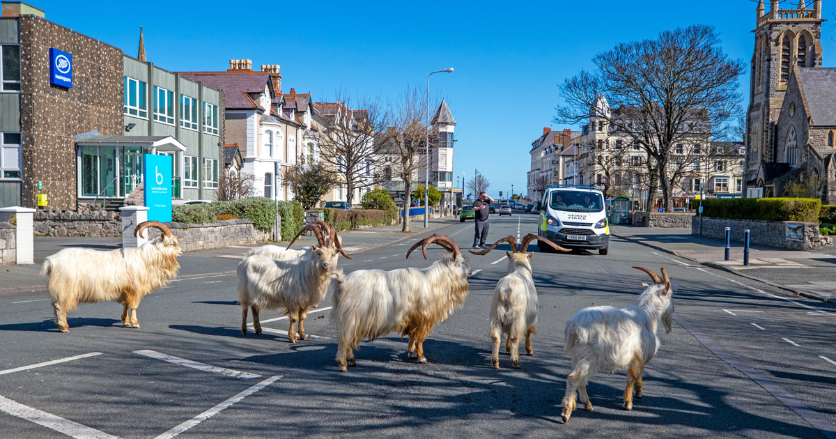 A Bunch Of Goats Just Took Over A Welsh Town During Quarantine