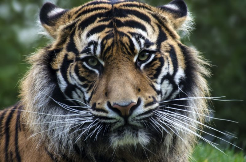 New York tiger tests positive for coronavirus, can animals pass the infection to humans?