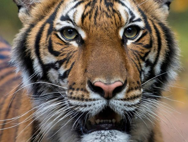 'No proof cats can spread coronavirus' after tiger tests positive