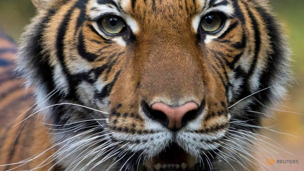 Tiger with COVID-19 gets medication, TLC from Bronx Zoo keepers