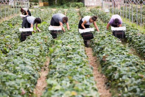受疫情影响,英国8万亿元农产品陷危机:40亿颗草莓1.7亿只苹果…