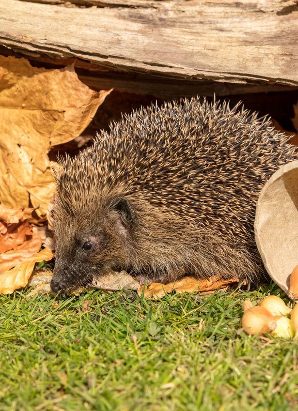 Chris Packham's wildlife lockdown: Animal magic with Britian's springtime mammals