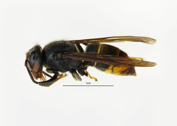 Deadly giant Asian Hornets that can 'kill with one sting' are heading to the UK