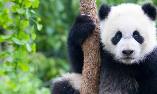 疫情期间生活太苦真的熬不住了!就连熊猫也顶不住自杀?