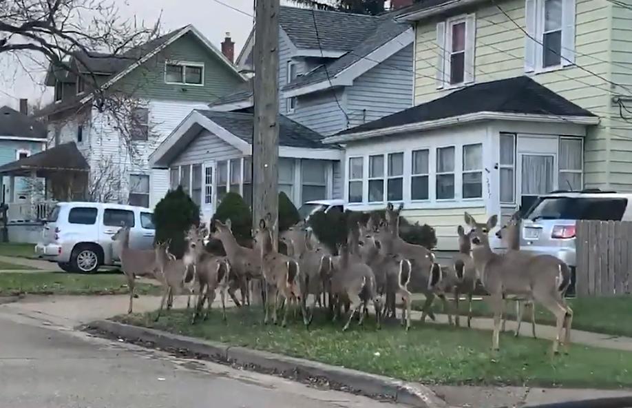 罕见!美国一民众隔离期间在空旷社区偶遇鹿群