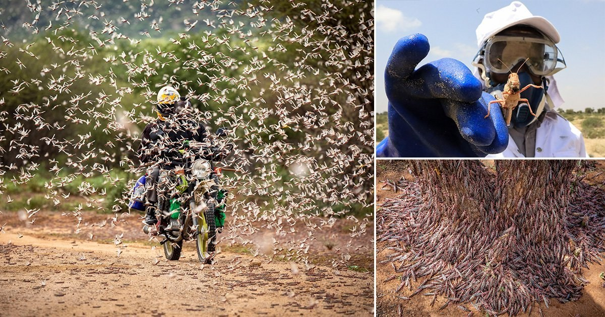 Swarm of locusts destroy 500,000 acres of crops, leaving millions facing food crisis