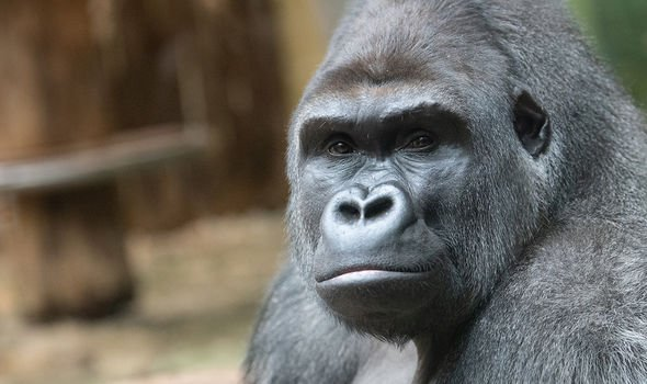 Shock data shows gorillas and chimpanzees could catch coronavirus from humans