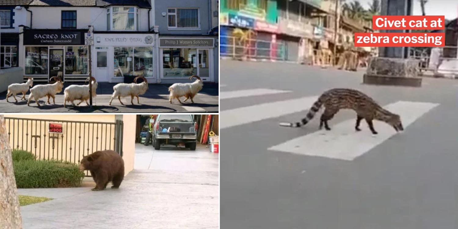 10 Bizarre animal crossings due to covid-19 as cities are like deserted islands irl