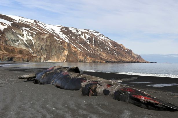 Bloodied carcass of huge sperm whale washes up on beach after being hit by ship
