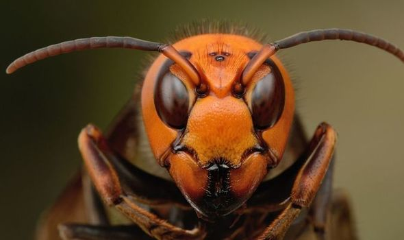 Giant Asian 'MURDER' hornets invade the US and are spreading rapidly