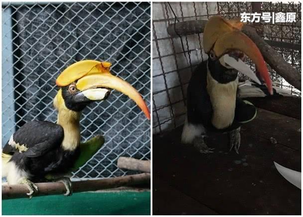 泰国犀鸟嘴喙折断无法进食,当地大学为其安装3D打印假喙!