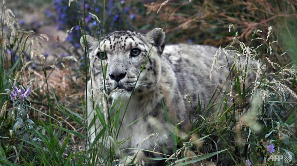 Indian officials capture rare snow leopard, send it to zoo