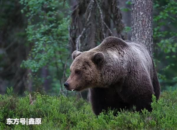 西班牙保护区发现棕熊出没,为150年以来首次出现!