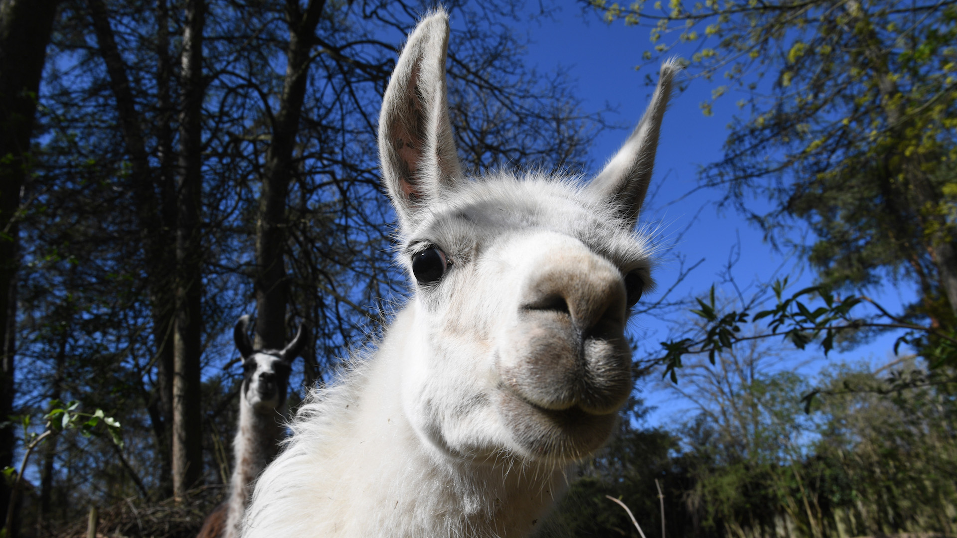 Scientists Suspect Llamas Could be the Answer in Search for Coronavirus Treatment