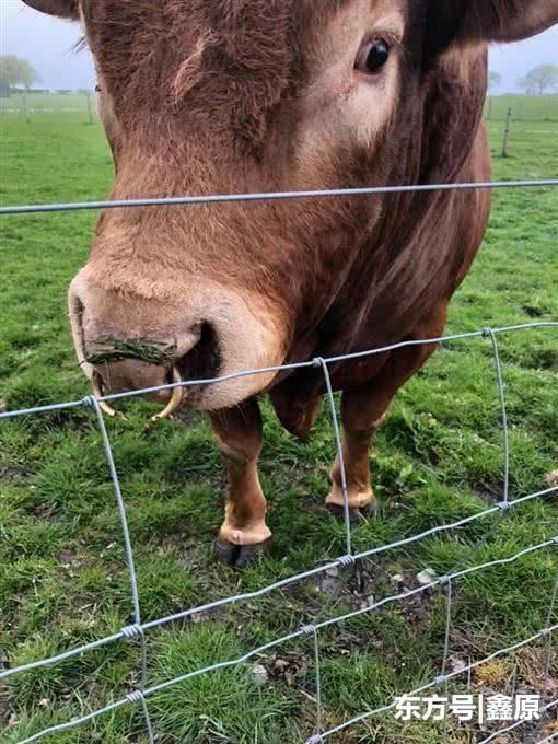 苏格兰公牛在电线杆蹭痒不慎撞倒变电箱,致当地700户停电!