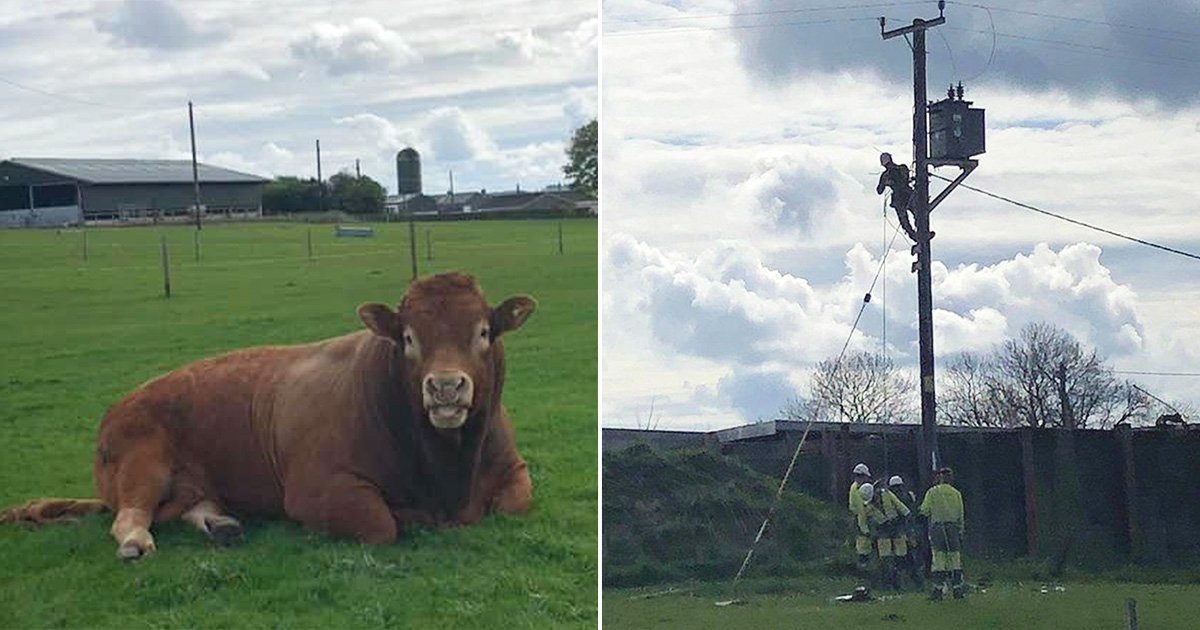 Bull cuts power to 800 homes by scratching 'itchy bum' on electricity pole