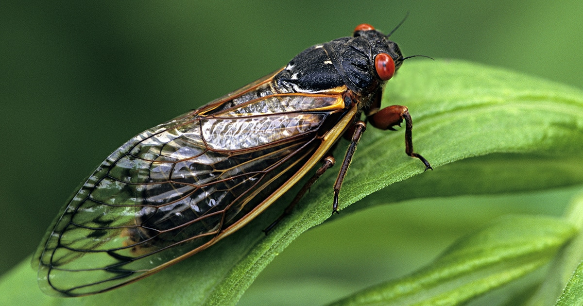 Millions Of Cicadas Expected To Emerge From The Ground This Summer