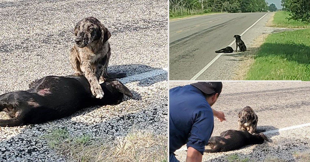 Dog called Guardian refused to leave sister after she was killed on road