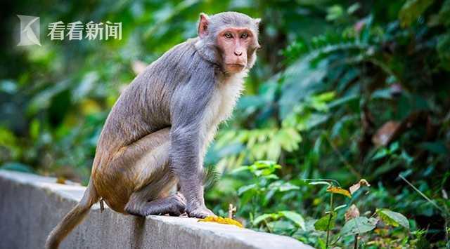印度猴群闯医学院 抢走新冠肺炎患者血样