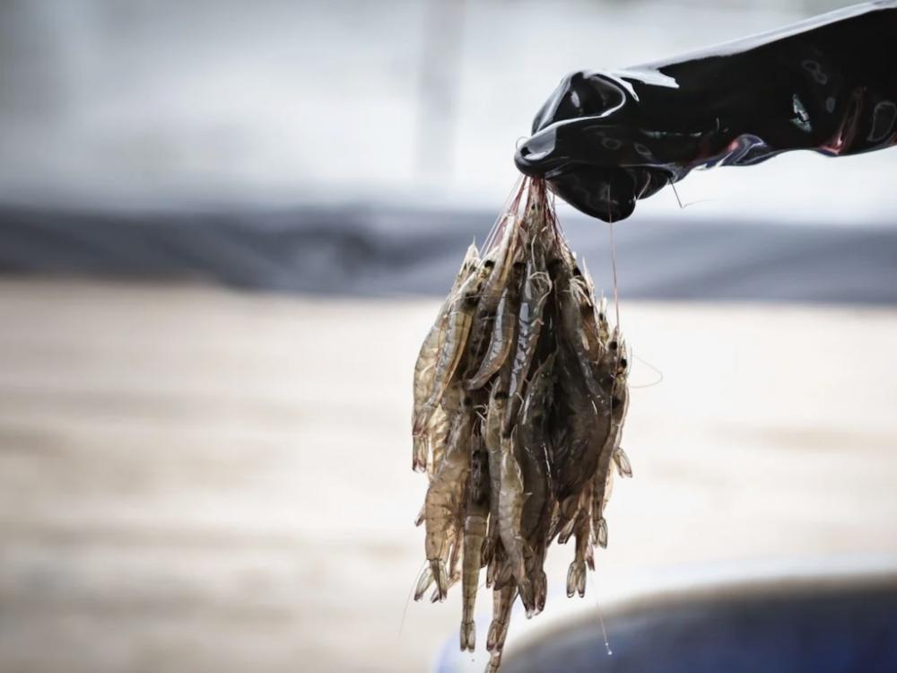 虾类动物出现致命性病毒!一只虾感染,3天内整池虾都会死!