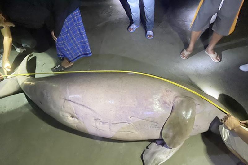 儒艮搁浅海滩·疑遭螺旋桨重伤致死