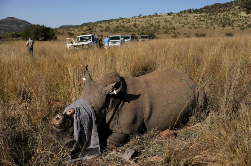 South Africa dehorns dozens of rhinos to prevent lockdown poaching surge